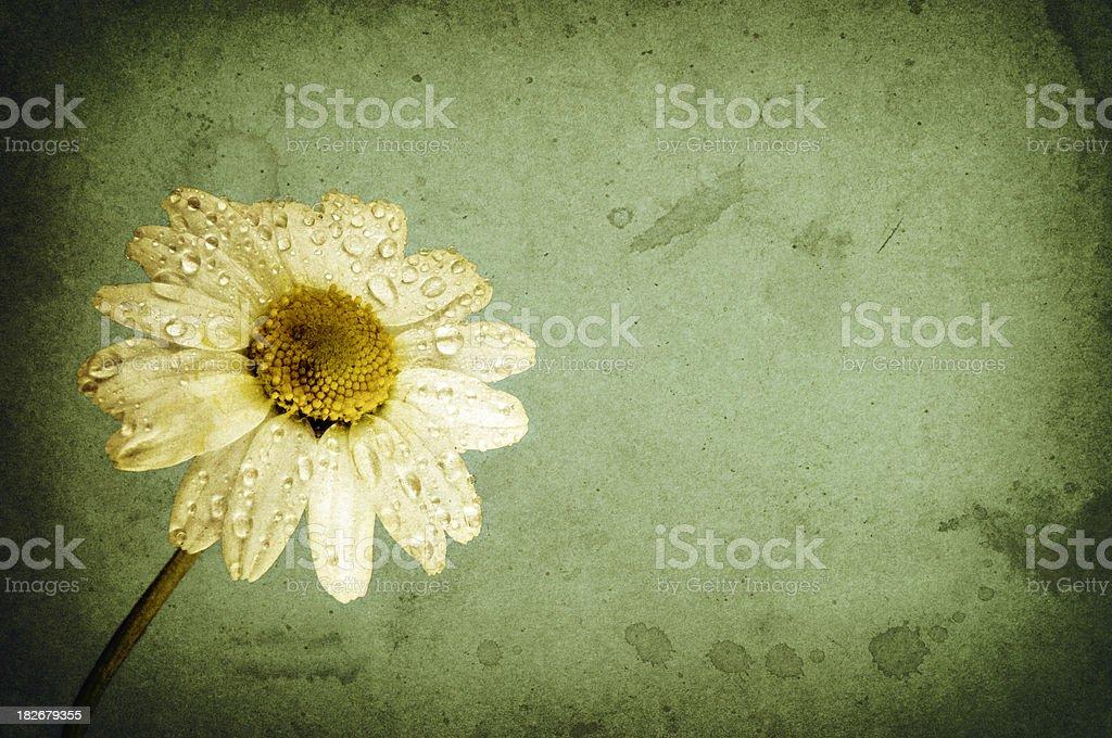 White daisy, retro-style photo royalty-free stock photo