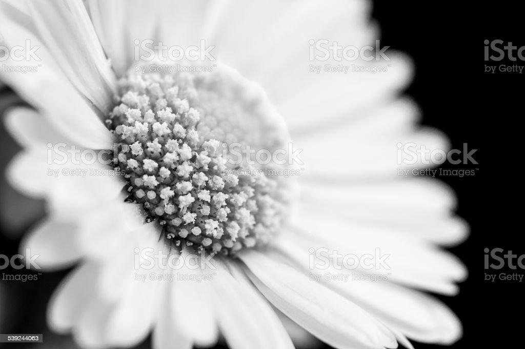 White Daisy  - Stock Image royalty-free stock photo