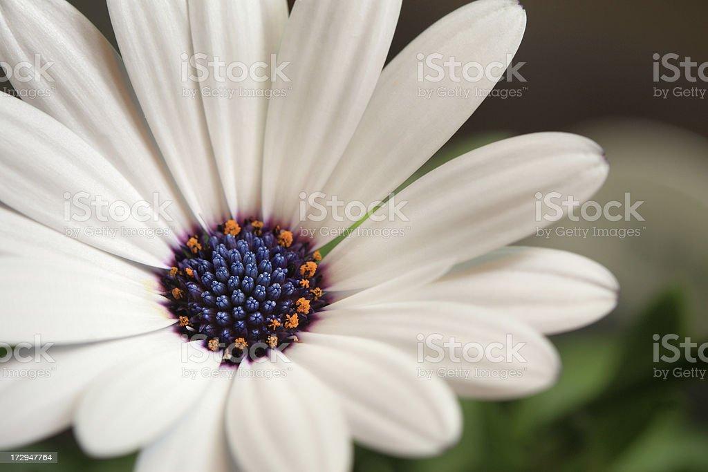 White daisy with blue center stock photo more pictures of blue white daisy with blue center royalty free stock photo mightylinksfo