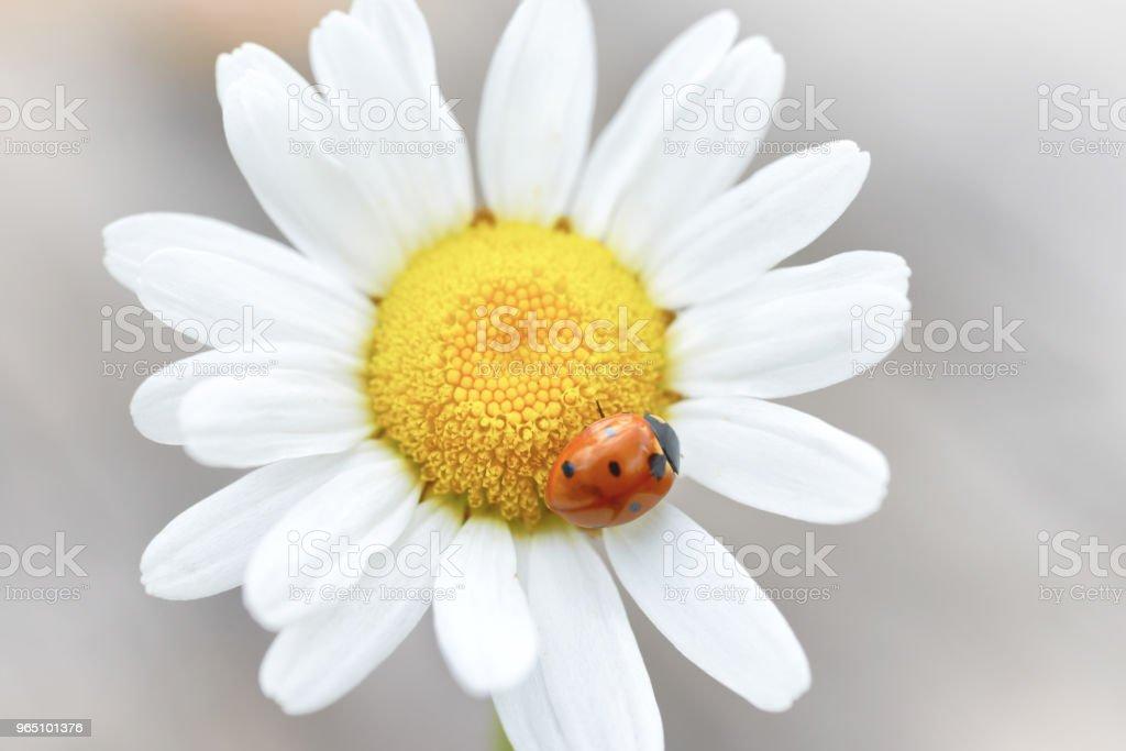 White daisy with ladybug royalty-free stock photo