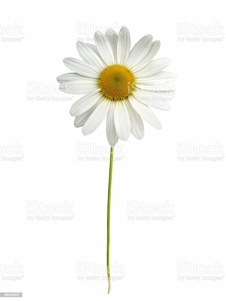White daisy with stem stock photo