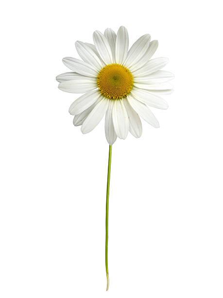 blanco daisy con vástago - planta de manzanilla fotografías e imágenes de stock