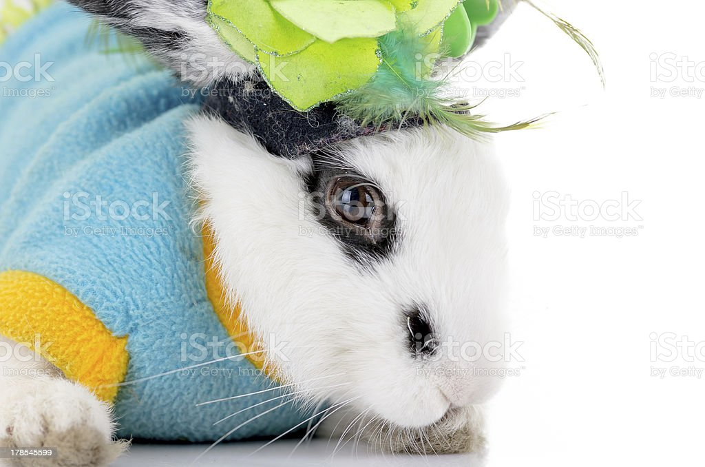 white dalmatian rabbit with black spots royalty-free stock photo