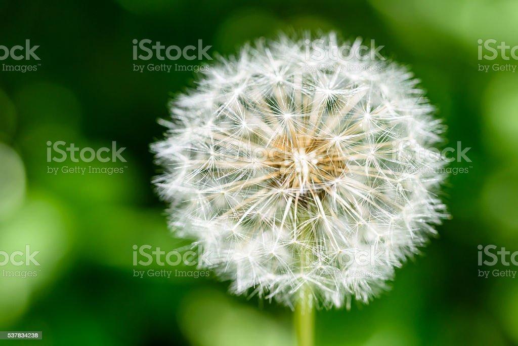 White Dandelion Flower stock photo