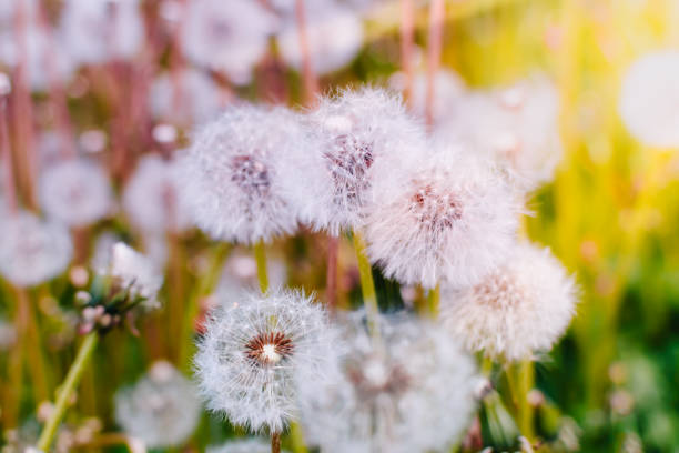 Royalty free close up of fuzzy white dandelion seed head growing white dandelion flowers stock photo mightylinksfo