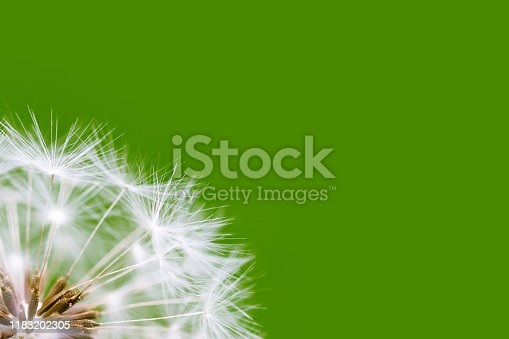 White dandelion inflorescence on a green background. Flower with forehead feathers in the lower left corner, a lot of free space for your text on a green background