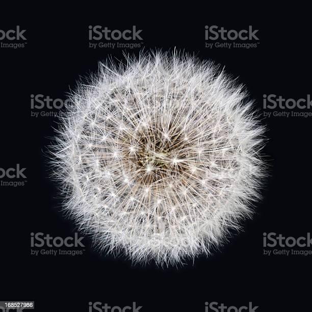 White dandelion isolated on black background picture id168527986?b=1&k=6&m=168527986&s=612x612&h=rz9weznhcxmwhxgr 23y8zqnugcbafp l2t2itzt0im=