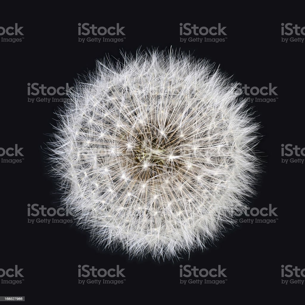 White dandelion isolated on black background stock photo