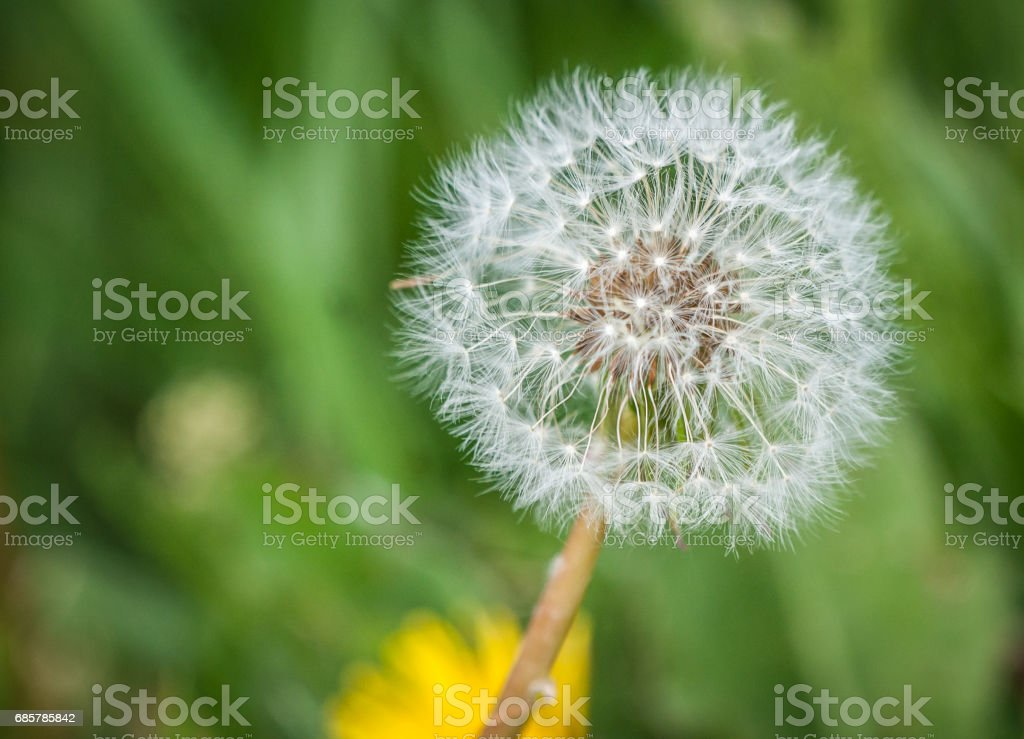 White dandelion on blured green grassy background royalty-free stock photo