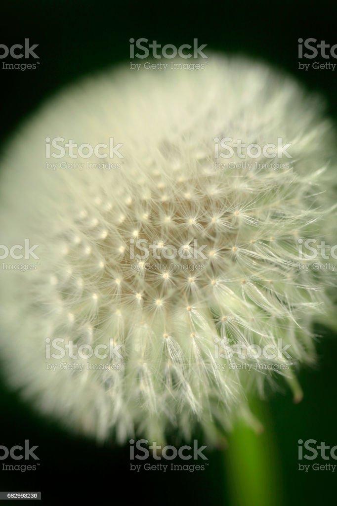 white dandelion foto de stock libre de derechos