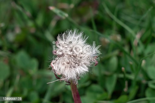 White Dandelion with seeds in moody colors with dark green background