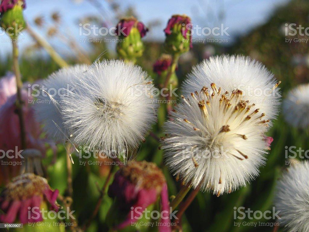 White dandelions royalty-free stock photo