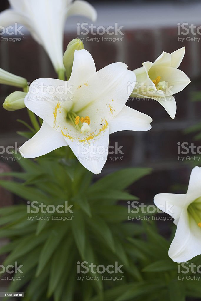 White Day Lily Selective Focus with Yellow Pollen on Stamen royalty-free stock photo
