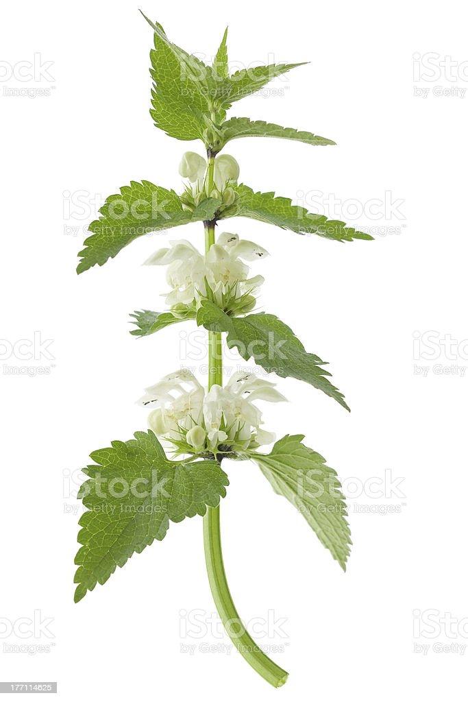 White dead-nettle (Lamium album) stock photo