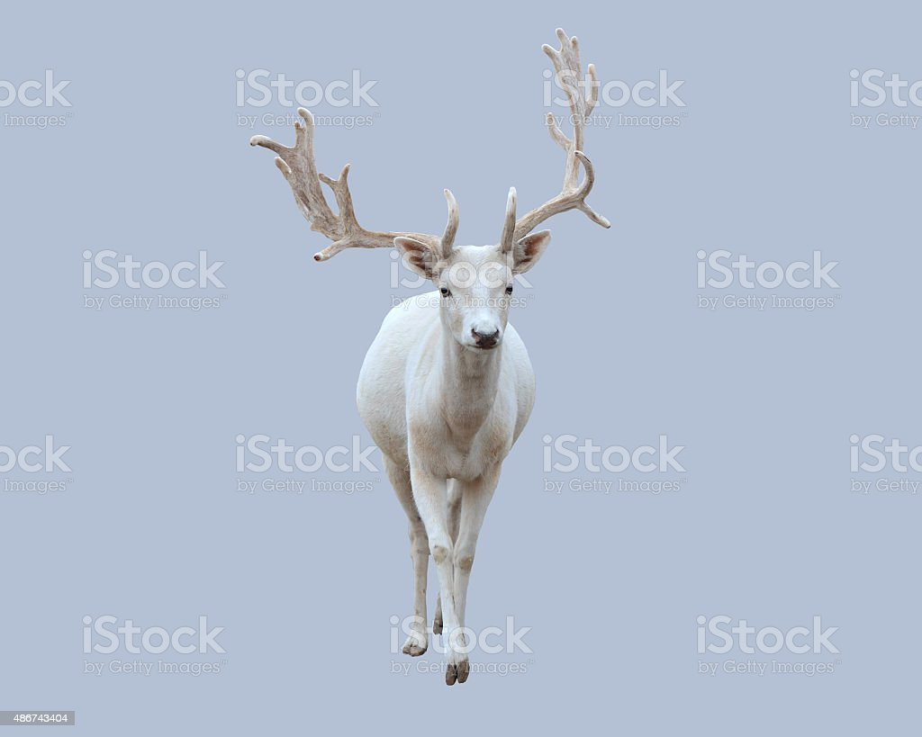 White deer. stock photo