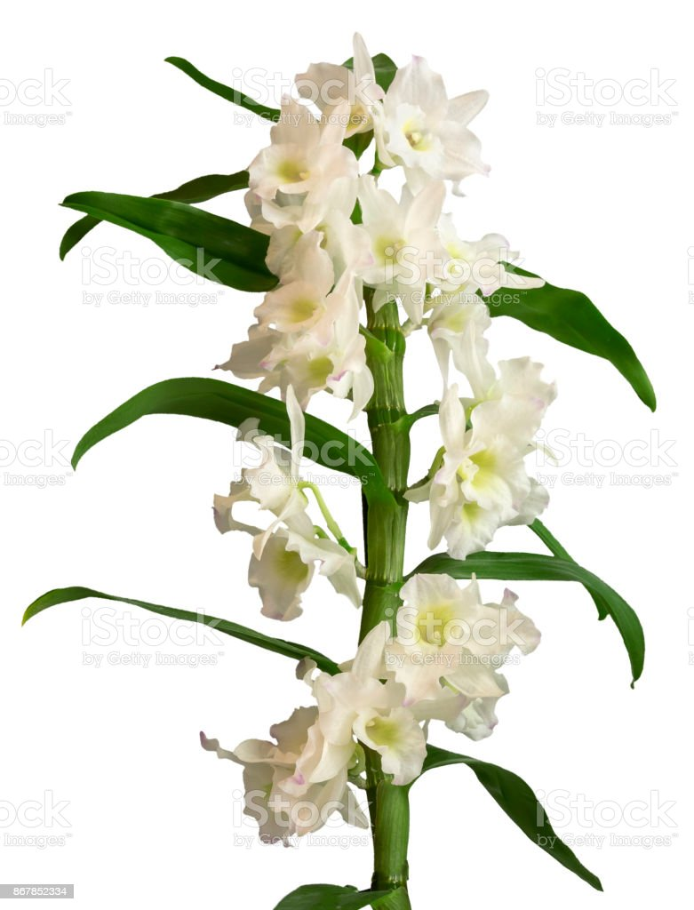 White Dendrobium Nobile Orchid Flowers Isolated On White Stock Photo