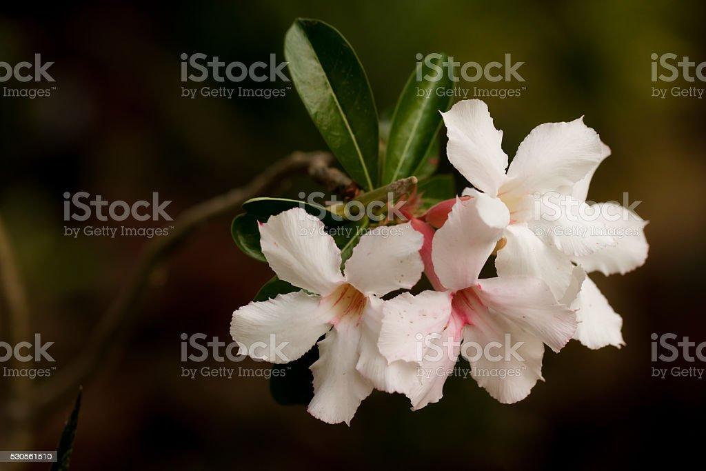 White desert rose stock photo