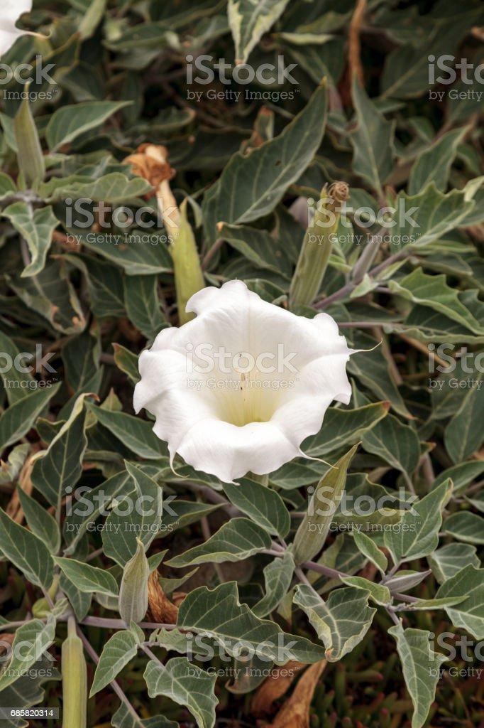 White devils trumpet flower, Datura stramonium stock photo