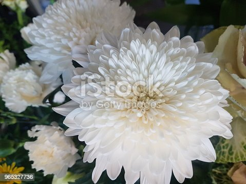 Large white flower bloom of a chrysanthemum disbud, with shell-shaped petals, surrounded by other blooms.