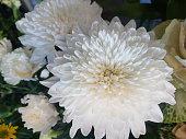 istock white disbud chrysanthemum flower 965327736