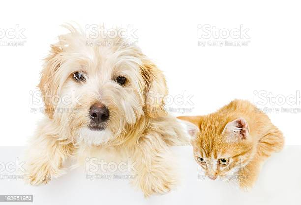 White dog and ginger cat in front of a white background picture id163651953?b=1&k=6&m=163651953&s=612x612&h=xygfnhbqs0tmje qbefekgpykgivnpt4b583b745i0o=