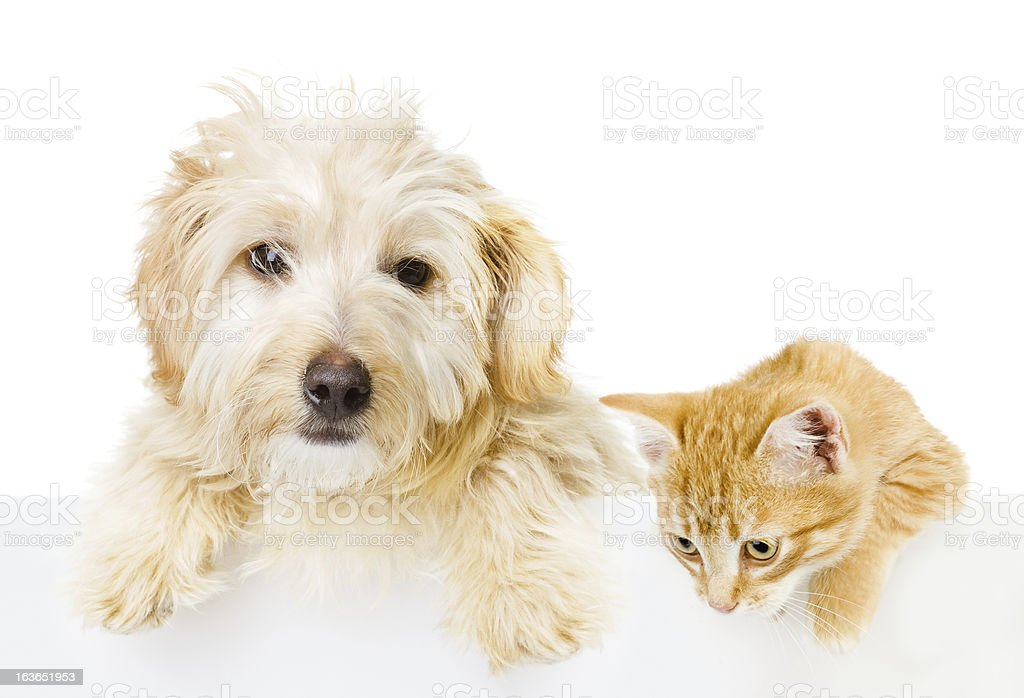 White dog and ginger cat in front of a white background stock photo