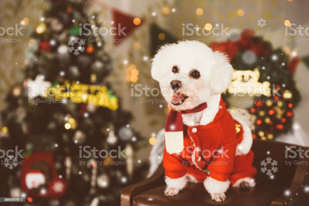 A white dog at Christmas background stock photo