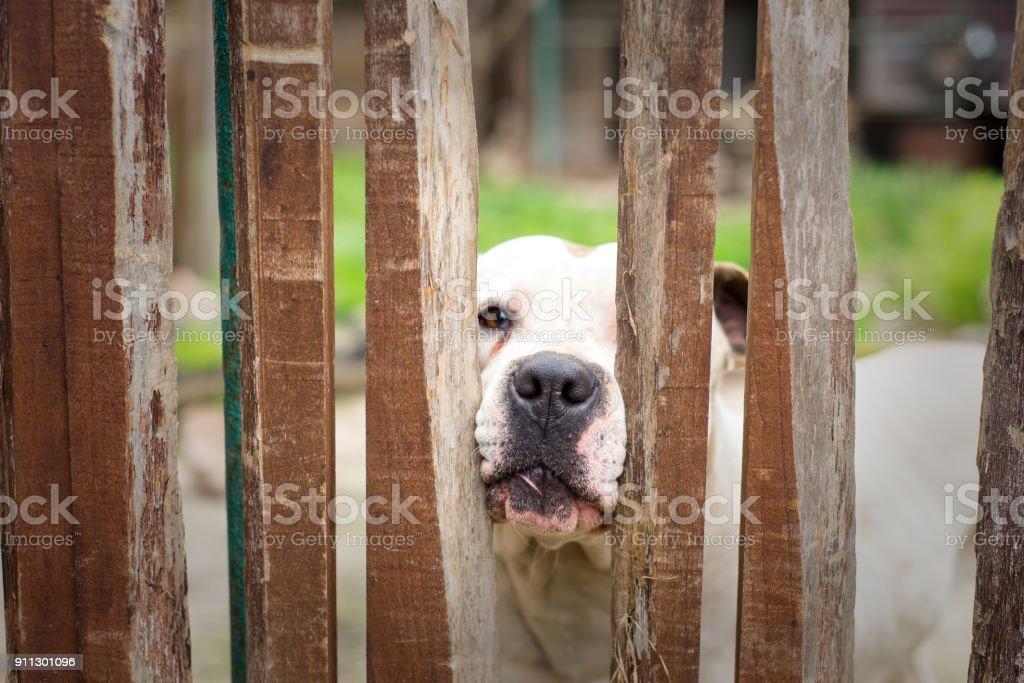 White dog behind wooden fence stock photo