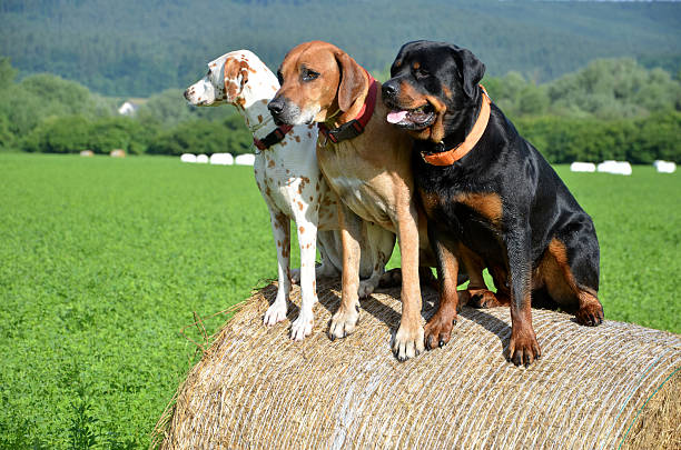 White dog, brown ridgeback and black rottweiler sit on roll - foto de stock