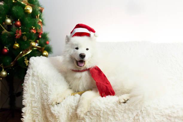weißer hund in einem roten schal und mütze. - cartoon kostüme stock-fotos und bilder