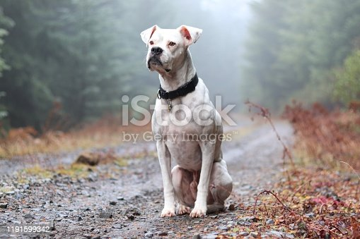 White boxer dog sitting on a gravel road in the misty woods