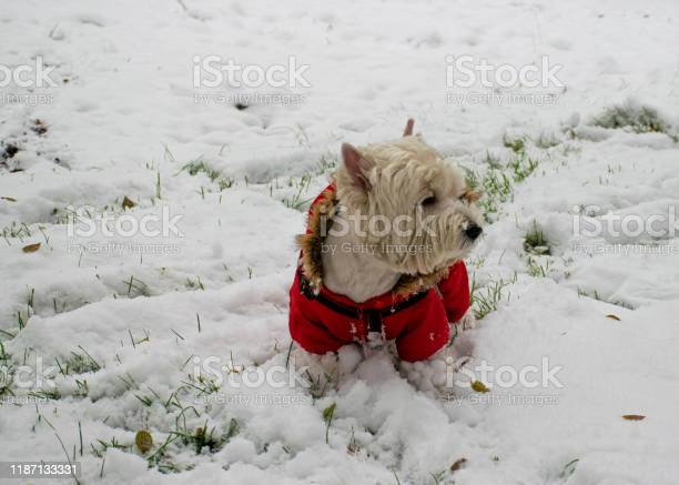 White dog in red clothes walks in the park in the snow jumpsuit for picture id1187133331?b=1&k=6&m=1187133331&s=612x612&h=mlhrhzi0hwbu 8ux27l2j0cbd5h5sdwpfnqjfb 5cvg=