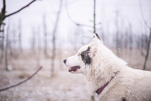white dog watching snow in an orchard