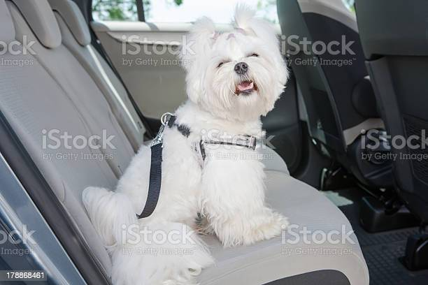 White dog in the backseat of a car picture id178868461?b=1&k=6&m=178868461&s=612x612&h=14ybmhaxd u kgx3 9eprnhwdrblse2a9aysft12lqu=
