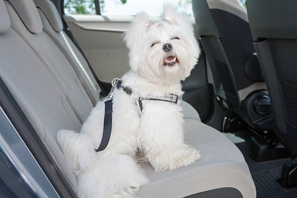 A white dog in the backseat of a car stock photo