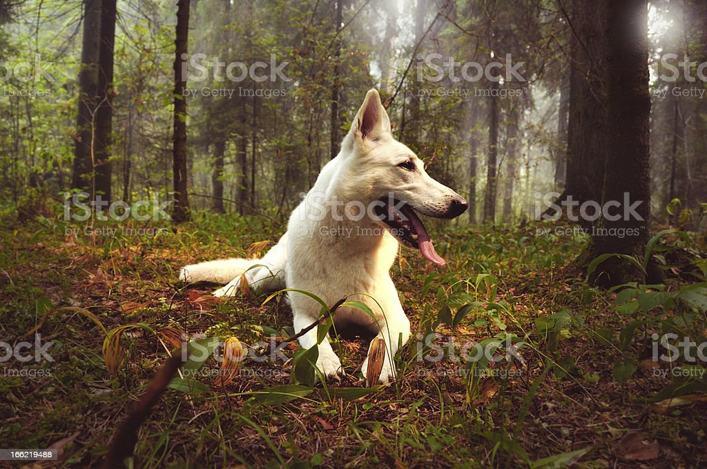 white dog in the fog forest stock photo