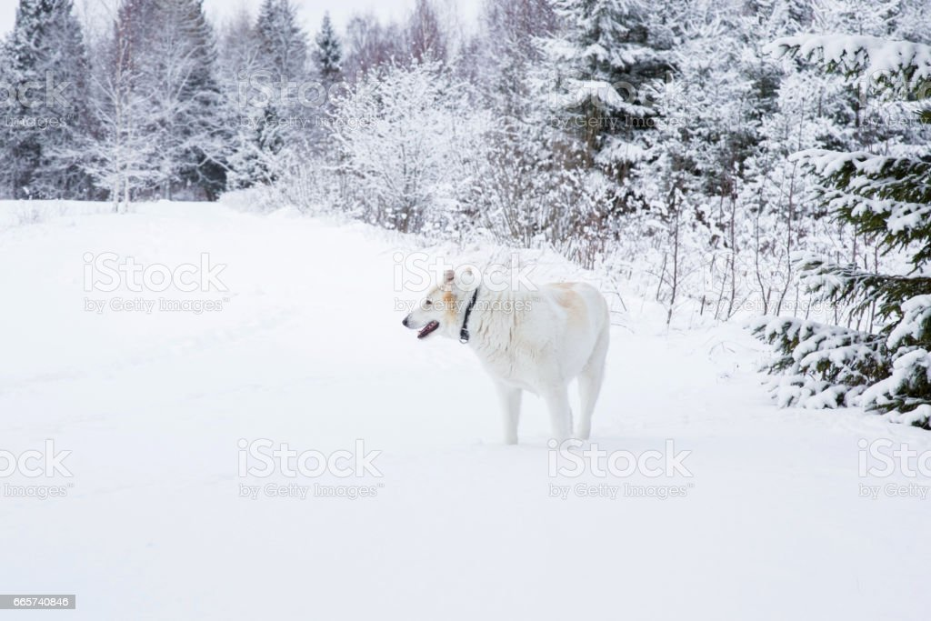 White dog in the white snow in winter day at hunting in the...
