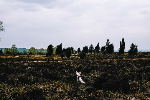 White dog on a walk in Luneburger Heide