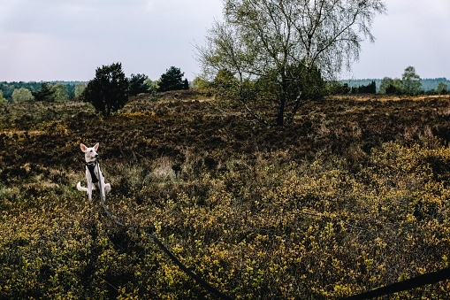 White dog on a walk in the Luneburg Heathland