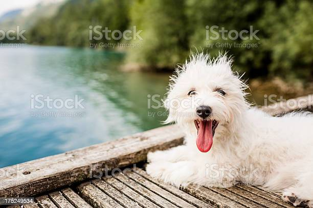 White dog on boardwalk over lake picture id175249534?b=1&k=6&m=175249534&s=612x612&h=wmbxsv4b31dpkyzdmyjheq3cprywtlp6qzlgzdyjsle=