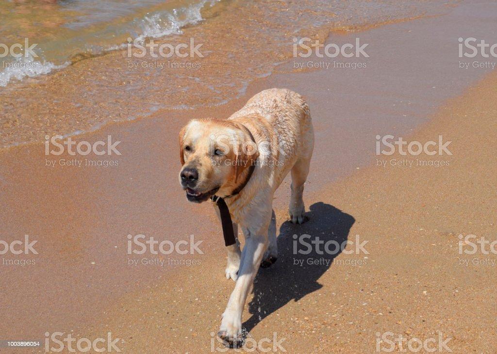 White dog on the beach. A dog runs along the shore of the sea