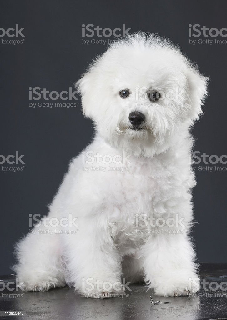 white dog royalty-free stock photo