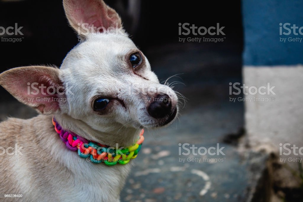 White Dog royalty-free stock photo