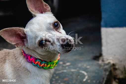 White Dog Stock Photo & More Pictures of Animal