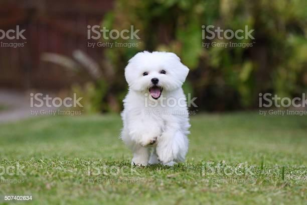 White dog running picture id507402634?b=1&k=6&m=507402634&s=612x612&h=dby4qonce4 tunddko0nnvltt nvxrfp4l4s3rnr5im=