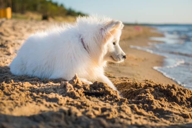 White dog Samoyed  digs sand on the shore of the Baltic Sea stock photo
