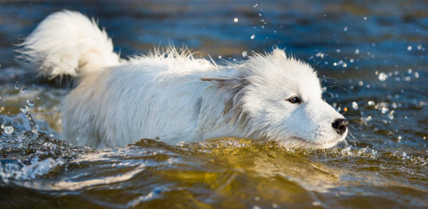 White dog Samoyed swims in the water on the Baltic Sea stock photo