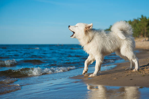 White dog Samoyed walks on the shore of the Baltic Sea stock photo