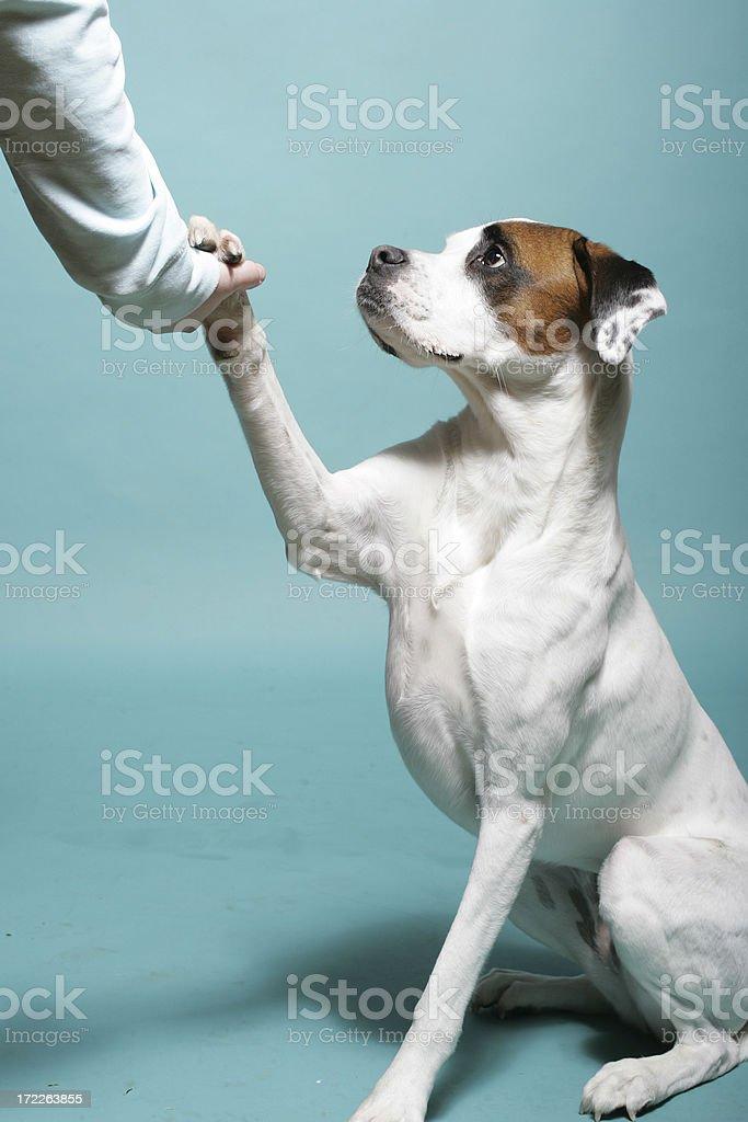 White dog shaking paw stock photo