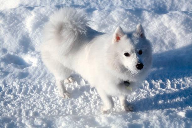 White dog Spitz walks in winter on snow stock photo